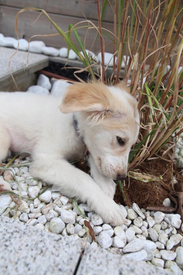 JUNE - chiot femelle, de taille petite à moyenne à l'âge adulte, née environ en février 2020 - REMEMBER ME LAND -  ADOPTEE PAR JUSTINE (67)  June212