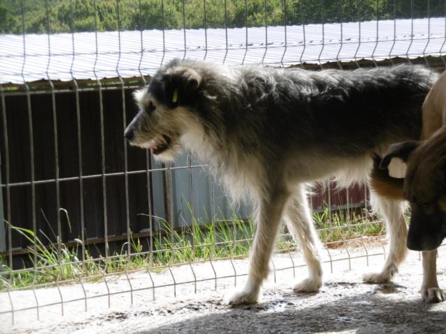 KAYLA - x griffon 3 ans (3 ans de refuge)  Asso Remember Me (Roumanie) Kayla_17