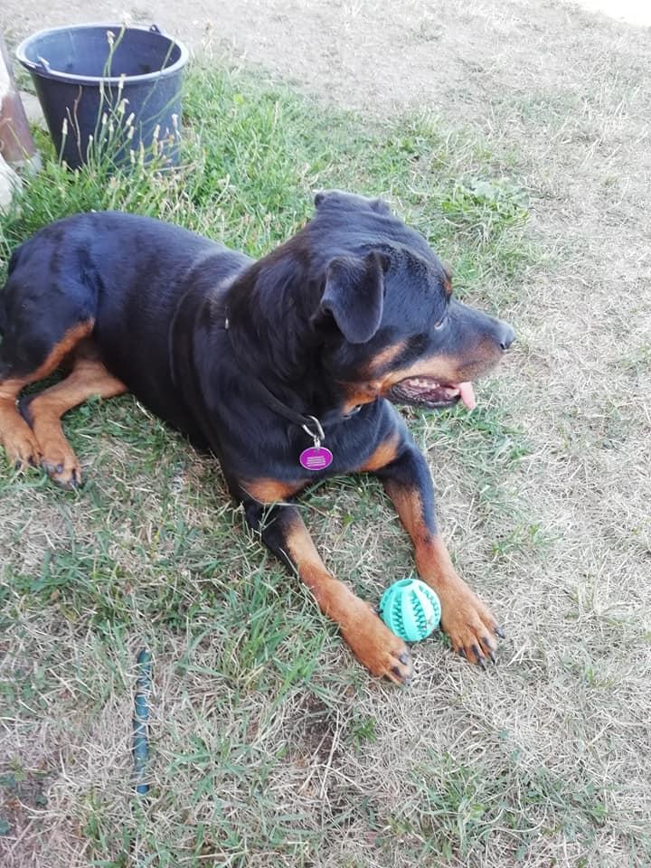 KENZA - femelle Rottweiler de grande taille, née environ en février 2010 (PASCANI) - REMEMBER ME LAND - ADOPTEE PAR LAURENCE (58) - Page 2 Kenza210