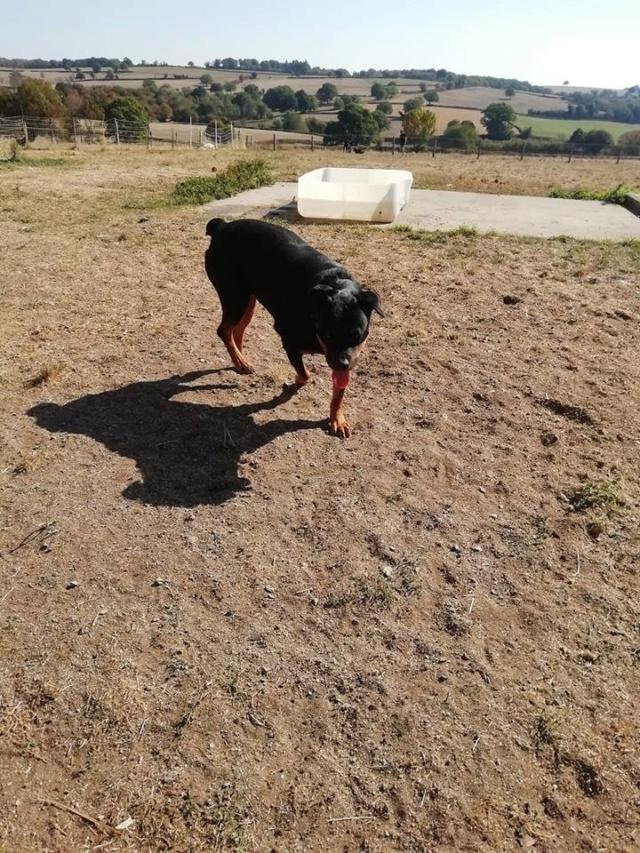 KENZA - femelle Rottweiler de grande taille, née environ en février 2010 (PASCANI) - REMEMBER ME LAND - ADOPTEE PAR LAURENCE (58) - Page 2 Kenza211