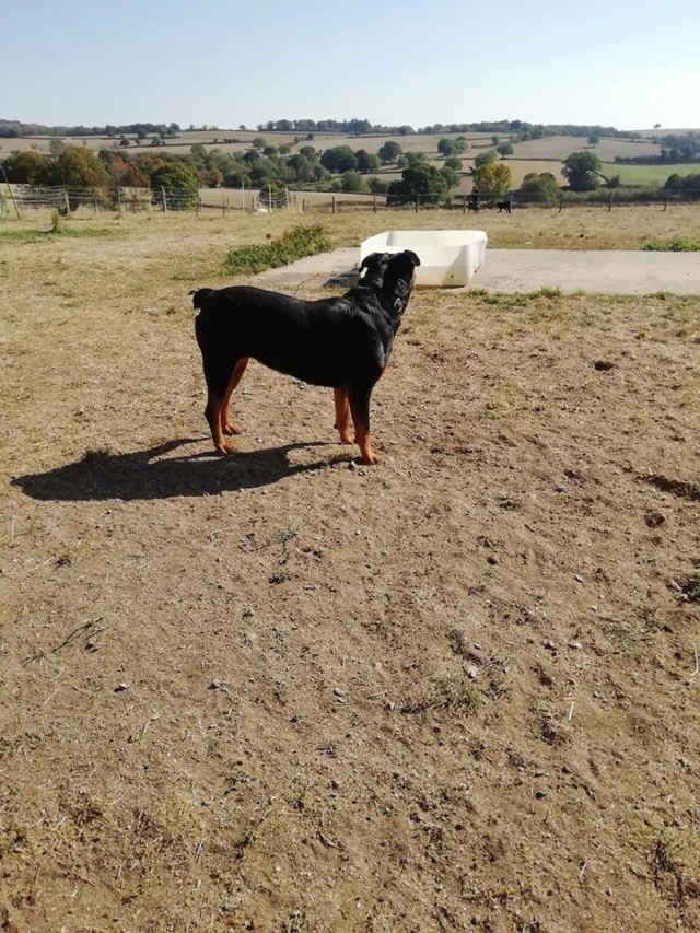 KENZA - femelle Rottweiler de grande taille, née environ en février 2010 (PASCANI) - REMEMBER ME LAND - ADOPTEE PAR LAURENCE (58) - Page 2 Kenza310
