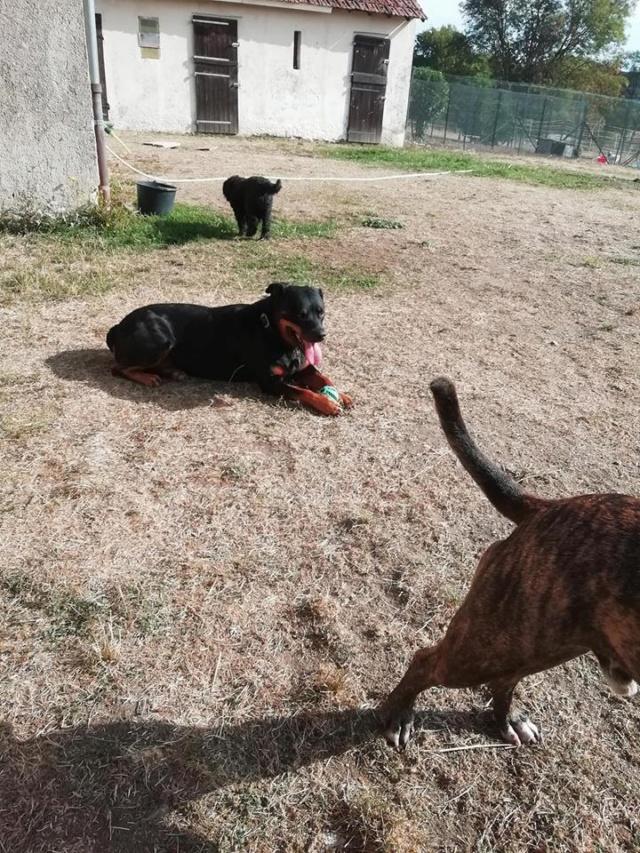 KENZA - femelle Rottweiler de grande taille, née environ en février 2010 (PASCANI) - REMEMBER ME LAND - ADOPTEE PAR LAURENCE (58) - Page 2 Kenza410