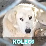 Les adultes de taille moyenne en Roumanie en un clin d'oeil Koleos10
