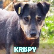 Association Remember Me France : sauver et adopter un chien roumain Krispy26
