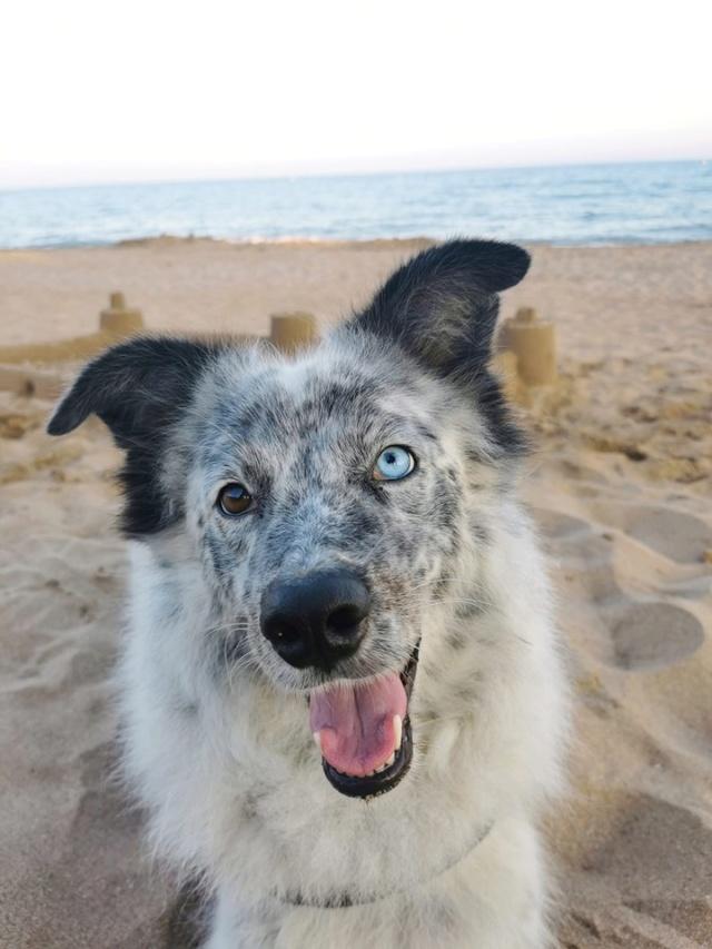 LILI-BLUE (ex BLUESKY),  femelle, sourde aux yeux vairons croisée nordique, taille moyenne, née en 2013(Pascani)- adoptée par Sabrina (34) - Page 2 Lilybl10