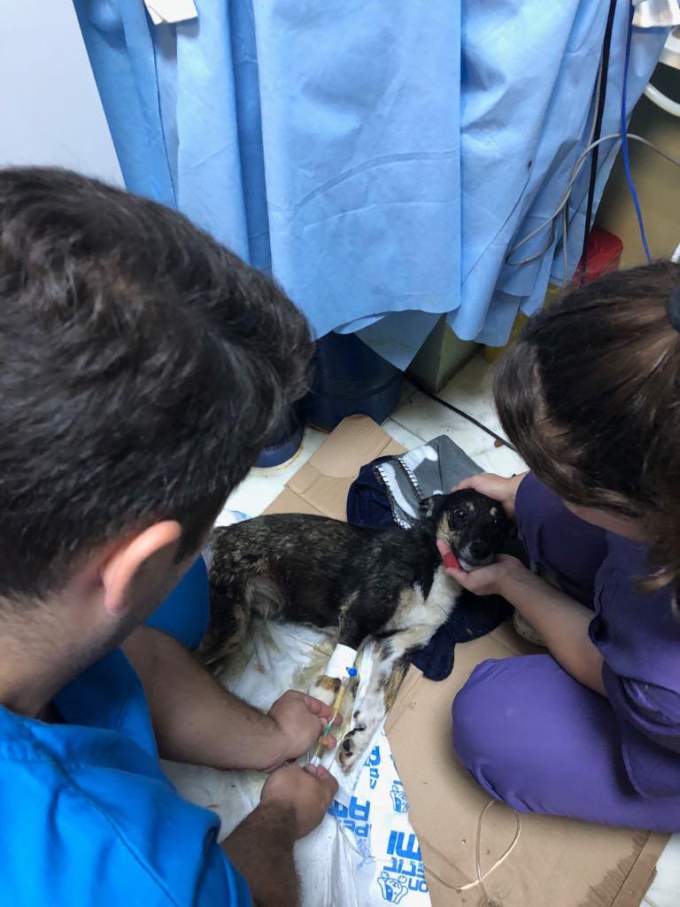 LISETTE - femelle, handicapée, croisée de petite taille à moyenne, née environ en 2017 (PASCANI) - clinique de Mircea (Bucarest)  Lisett12