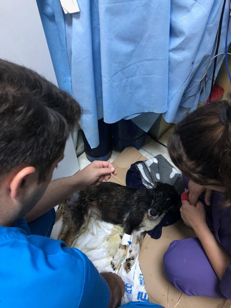 LISETTE - femelle, handicapée, croisée de petite taille à moyenne, née environ en 2017 (PASCANI) - clinique de Mircea (Bucarest)  Lisett13