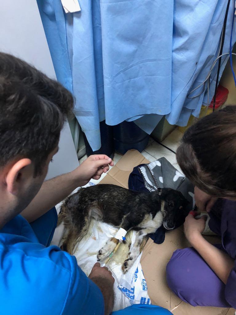 LISETTE - femelle, handicapée, croisée de petite taille à moyenne, née environ en 2017 (PASCANI) - clinique de Mircea (Bucarest)  Lisett14
