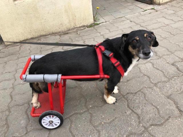 LISETTE - femelle, handicapée, croisée de petite taille à moyenne, née environ en 2017 (PASCANI) - clinique de Mircea (Bucarest)  - Page 5 Lisett34