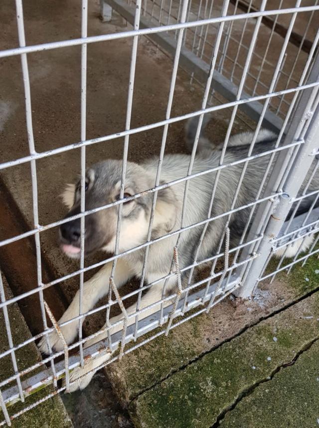 LOUPIOTE - Chiot femelle, croisée chien loup - taille moyenne à l'âge adulte - Née environ mi mars 2019 (fourrière de ROMAN) - REMEMBER ME LAND Loupio13