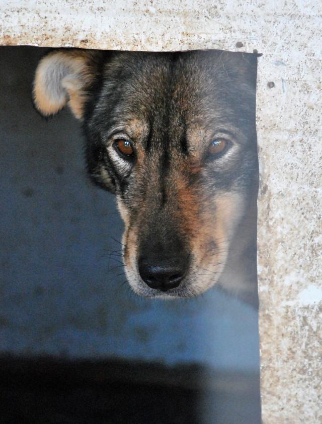 LUPI !! + de 3 ans de box !! - femelle , née environ en 2010, typée chien loup de sarloos, taille moyenne - REMEMBER ME LAND - Page 2 Lupi111