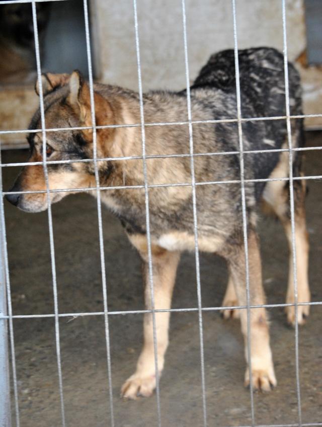 LUPI !! + de 3 ans de box !! - femelle , née environ en 2010, typée chien loup de sarloos, taille moyenne - REMEMBER ME LAND - Page 2 Lupi12