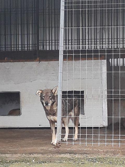 LUPI - femelle , née environ en 2010, typée chien loup de sarloos, taille moyenne - REMEMBER ME LAND - Page 3 Lupi14