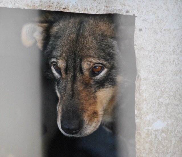 LUPI !! + de 3 ans de box !! - femelle , née environ en 2010, typée chien loup de sarloos, taille moyenne - REMEMBER ME LAND - Page 2 Lupi211