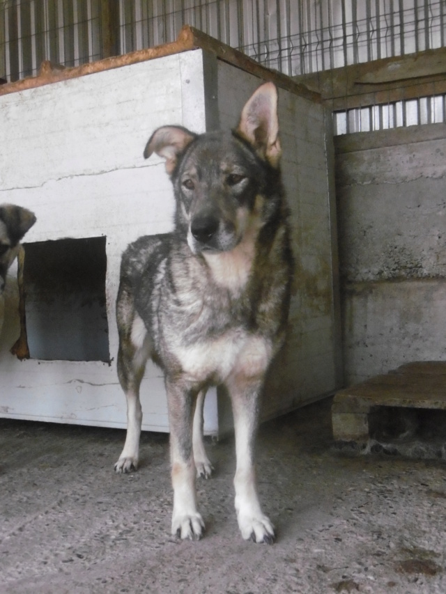 LUPI - femelle , née environ en 2010, typée chien loup de sarloos, taille moyenne - REMEMBER ME LAND - Page 3 Lupi_110