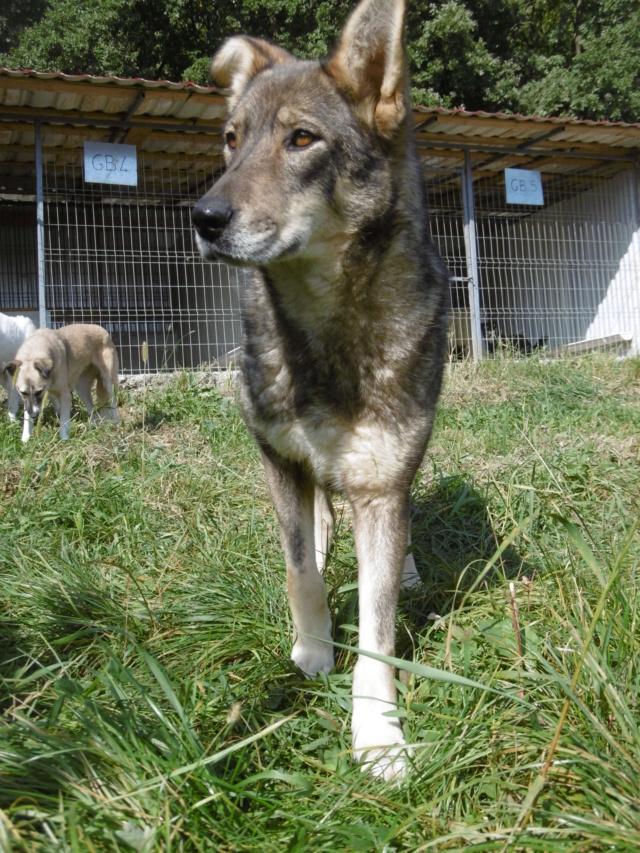 LUPI - femelle , née environ en 2010, typée chien loup de sarloos, taille moyenne - REMEMBER ME LAND - Page 3 Lupi_112
