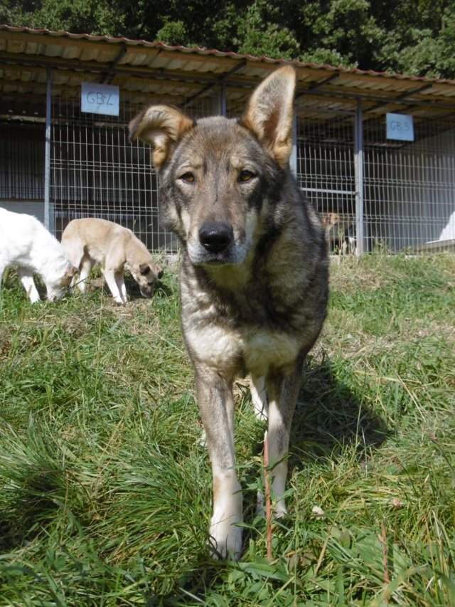 LUPI - femelle , née environ en 2010, typée chien loup de sarloos, taille moyenne - REMEMBER ME LAND - Page 3 Lupi_114