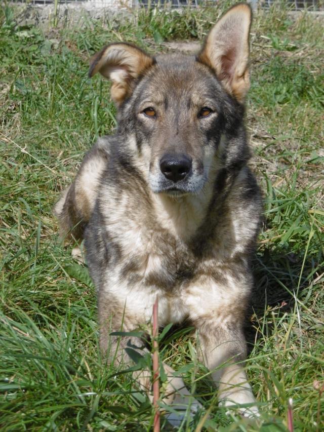 LUPI - femelle , née environ en 2010, typée chien loup de sarloos, taille moyenne - REMEMBER ME LAND - Page 3 Lupi_115