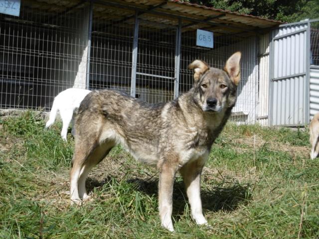 LUPI - femelle , née environ en 2010, typée chien loup de sarloos, taille moyenne - REMEMBER ME LAND - Page 3 Lupi_116
