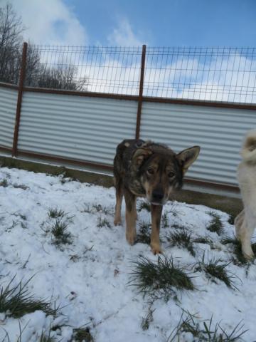 LUPI !! + de 3 ans de box !! - femelle , née environ en 2010, typée chien loup de sarloos, taille moyenne - REMEMBER ME LAND - Page 4 Lupi_117