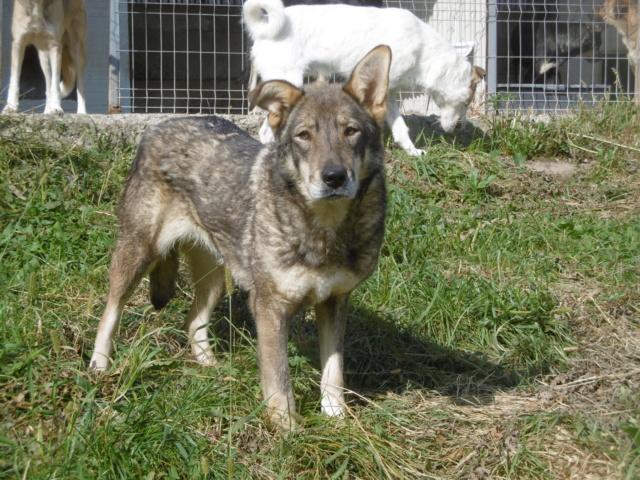 LUPI - femelle , née environ en 2010, typée chien loup de sarloos, taille moyenne - REMEMBER ME LAND - Page 3 Lupi_212