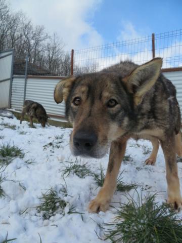 LUPI !! + de 3 ans de box !! - femelle , née environ en 2010, typée chien loup de sarloos, taille moyenne - REMEMBER ME LAND - Page 4 Lupi_213