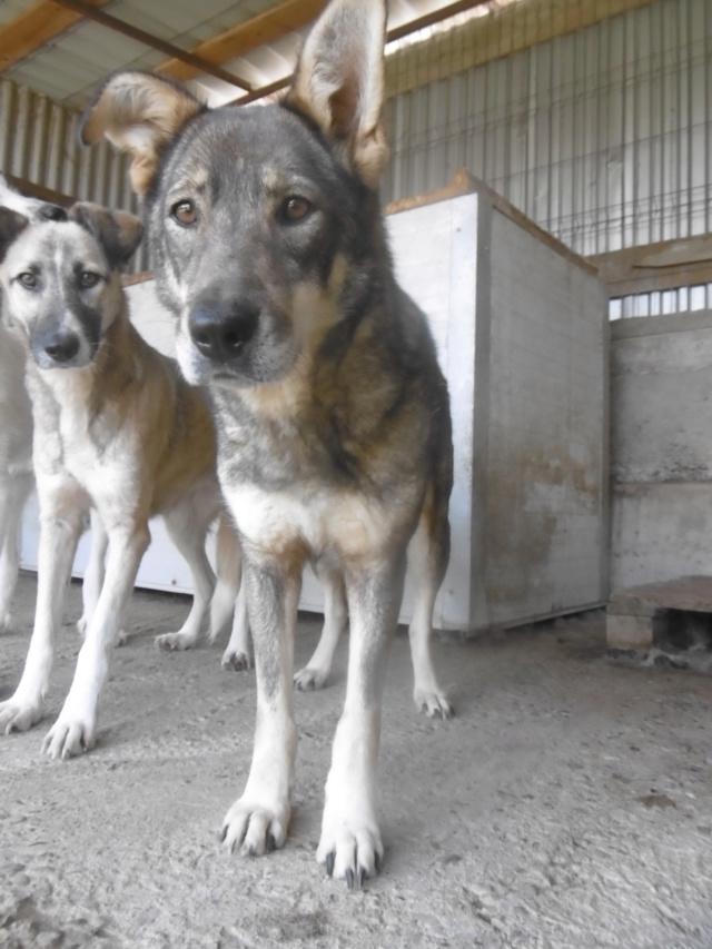 LUPI - femelle , née environ en 2010, typée chien loup de sarloos, taille moyenne - REMEMBER ME LAND - Page 3 Lupi_311
