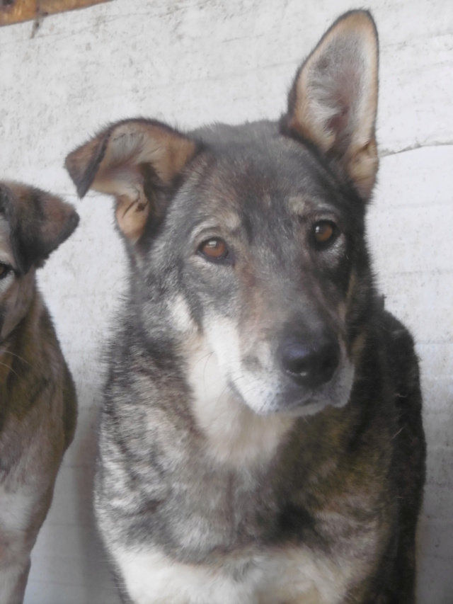 LUPI - femelle , née environ en 2010, typée chien loup de sarloos, taille moyenne - REMEMBER ME LAND - Page 3 Lupi_410
