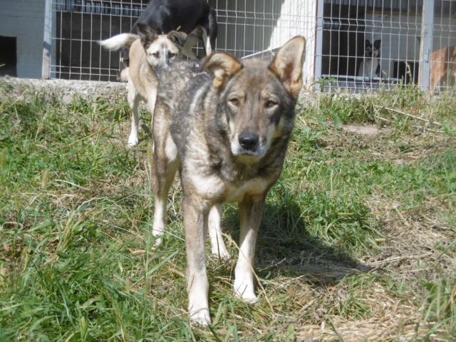LUPI - femelle , née environ en 2010, typée chien loup de sarloos, taille moyenne - REMEMBER ME LAND - Page 3 Lupi_411