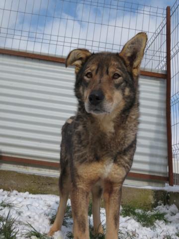 LUPI !! + de 3 ans de box !! - femelle , née environ en 2010, typée chien loup de sarloos, taille moyenne - REMEMBER ME LAND - Page 4 Lupi_412