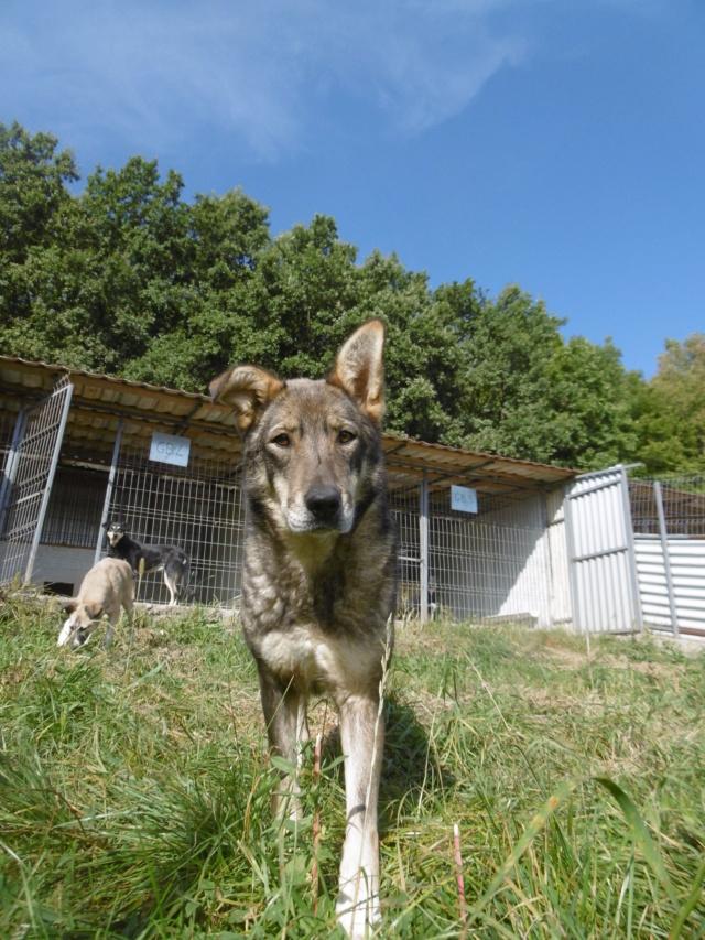 LUPI - femelle , née environ en 2010, typée chien loup de sarloos, taille moyenne - REMEMBER ME LAND - Page 3 Lupi_512