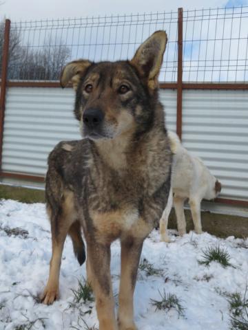 LUPI !! + de 3 ans de box !! - femelle , née environ en 2010, typée chien loup de sarloos, taille moyenne - REMEMBER ME LAND - Page 4 Lupi_513