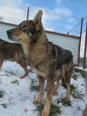 LUPI !! + de 3 ans de box !! - femelle , née environ en 2010, typée chien loup de sarloos, taille moyenne - REMEMBER ME LAND - Page 4 Lupi_612