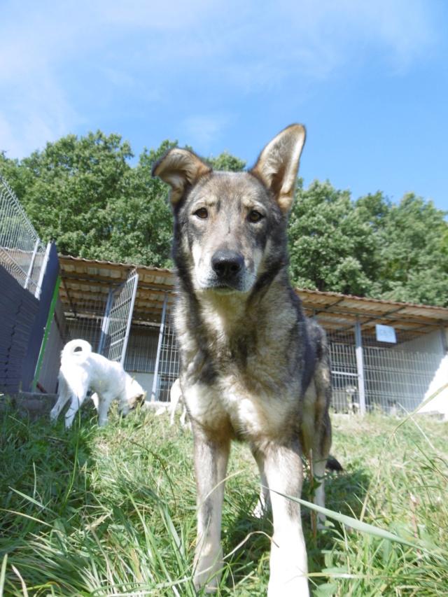LUPI - femelle , née environ en 2010, typée chien loup de sarloos, taille moyenne - REMEMBER ME LAND - Page 3 Lupi_810