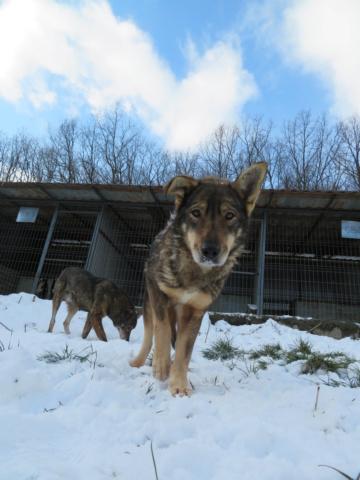 LUPI !! + de 3 ans de box !! - femelle , née environ en 2010, typée chien loup de sarloos, taille moyenne - REMEMBER ME LAND - Page 4 Lupi_811