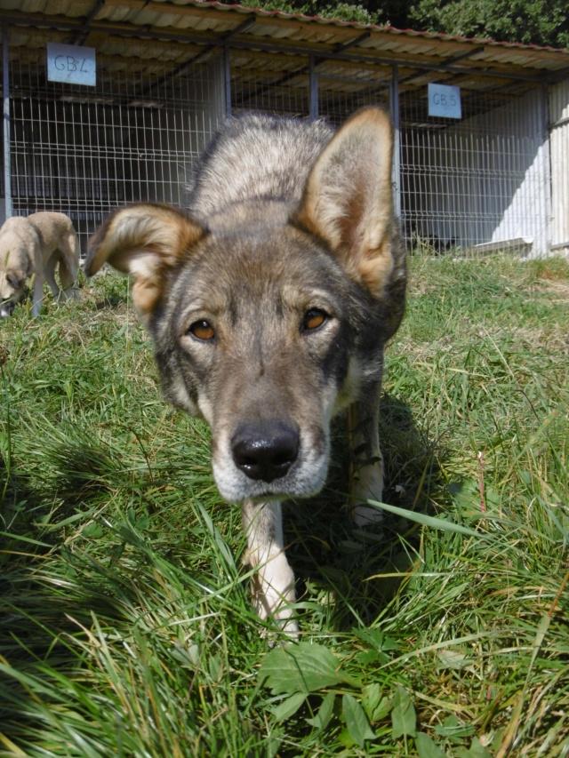 LUPI - femelle , née environ en 2010, typée chien loup de sarloos, taille moyenne - REMEMBER ME LAND - Page 3 Lupi_911