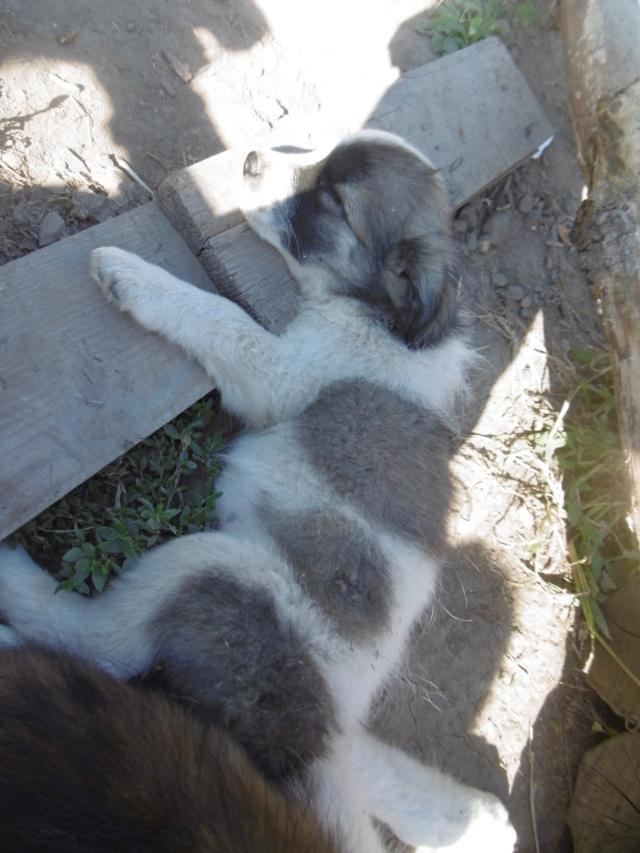 LYSANDRO - chiot mâle, de petite taille adulte, né environ fin avril 2019 - REMEMBER ME LAND - adopté par Sylvie (59) Lysand78