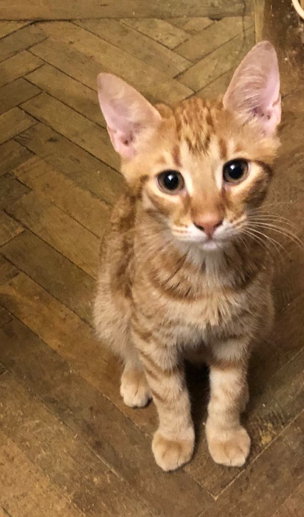 DRAGOMIR (ex MR LOUIS) - magnifique chat mâle léopard, né fin mai 2018 (BUCAREST) - EN FA chez Abysse (92) - ADOPTE PAR CYRIL (92) M_loui10