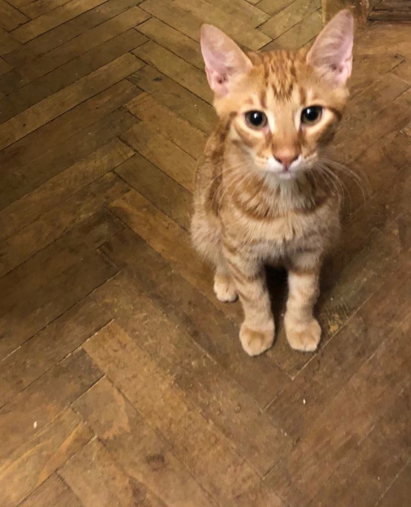 DRAGOMIR (ex MR LOUIS) - magnifique chat mâle léopard, né fin mai 2018 (BUCAREST) - EN FA chez Abysse (92) - ADOPTE PAR CYRIL (92) M_loui11