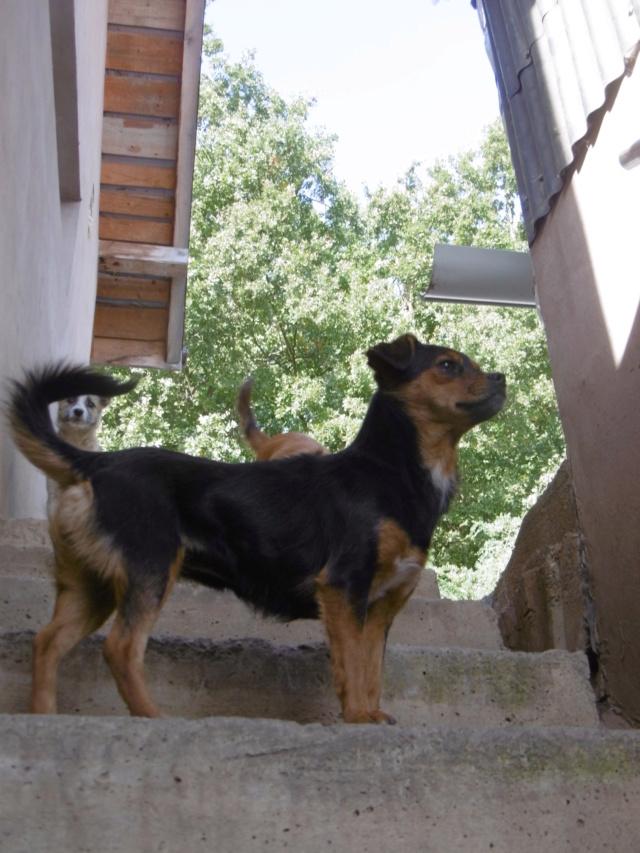 MAYA - femelle, croisée chihuahua, de taille mini (5 kg), née environ 2017 - REMEMBER ME LAND Maya_910