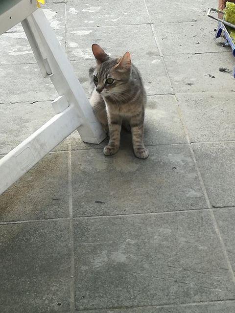 Miss TIGRIS - chat femelle, née en octobre 2017 - en FA chez Abysse (92) - Adoptée par Anne (Belgique) - !! EN FUGUE HELP !! - Page 2 Mistig10