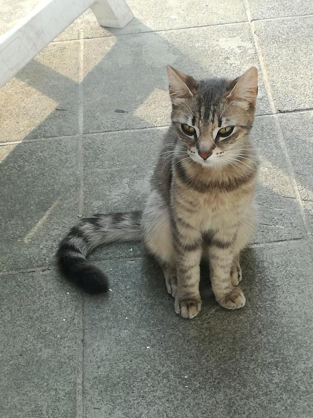 Miss TIGRIS - chat femelle, née en octobre 2017 - en FA chez Abysse (92) - Adoptée par Anne (Belgique) - !! EN FUGUE HELP !! - Page 2 Mistig11