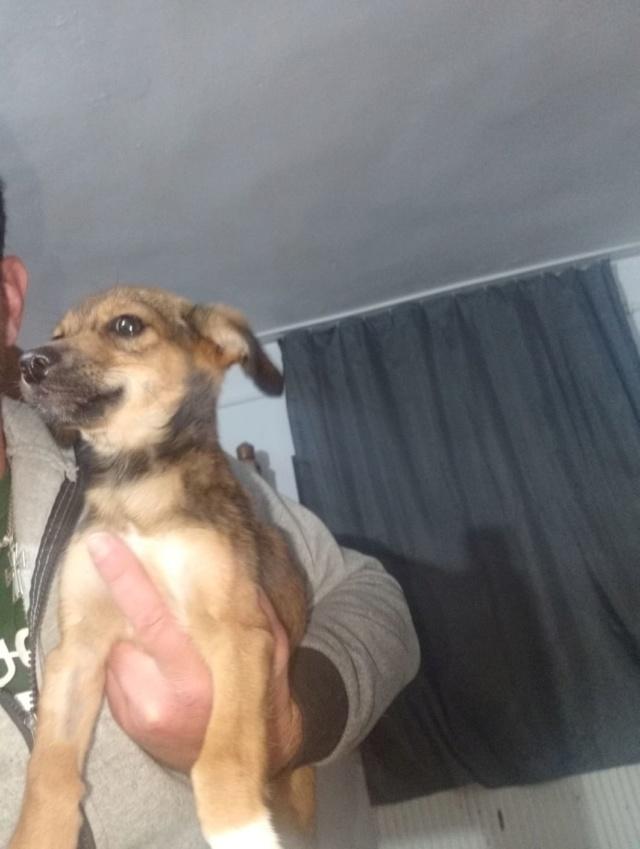 OTILYA - Chiot femelle - croisée, taille petite à l'âge adulte - Née environ mi juin 2019 - ADOPTEE PAR AMELIE (30) Otilya20