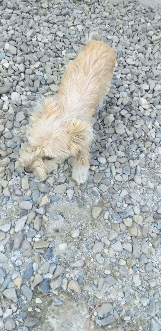 OURSINE - Chiot Femelle - Née en décembre en 2018 - Petite taille adulte - REMEMBER ME LAND PASCANI- décédée  Oursin11
