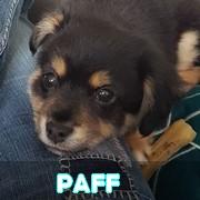 Association Remember Me France : sauver et adopter un chien roumain Paff12