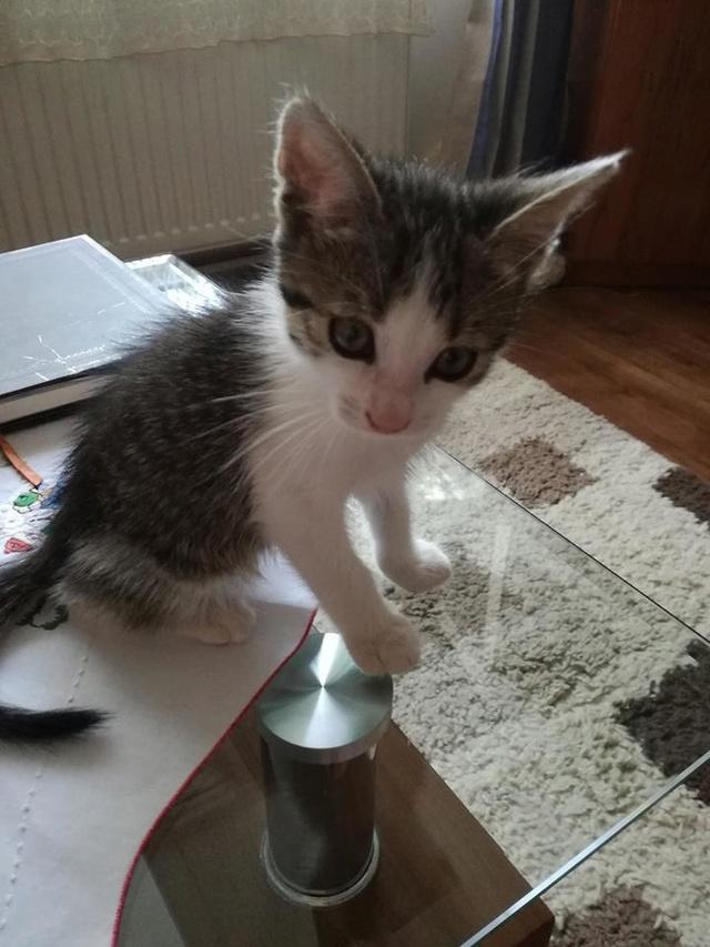 PEPITO, chaton mâle, né environ en mars 2018 - Pascani - adopté par Vanessa(83) Pepito11