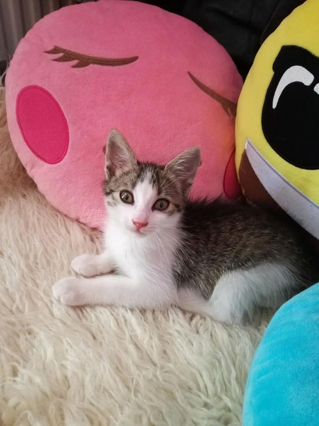 PEPITO, chaton mâle, né environ en mars 2018 - Pascani - adopté par Vanessa(83) Pepito12