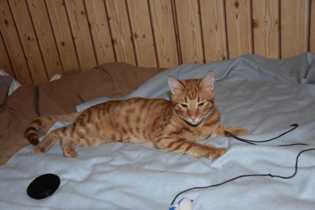 DRAGOMIR (ex MR LOUIS) - magnifique chat mâle léopard, né fin mai 2018 (BUCAREST) - EN FA chez Abysse (92) - ADOPTE PAR CYRIL (92) Petit_10