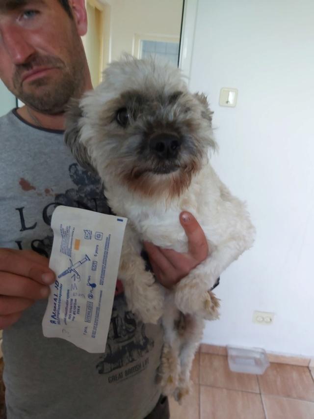 POPCORN - Magnifique mâle Shih tzu de petite taille - né environ en 2009 - En FA chez Florin - (Roumanie) Popcor12