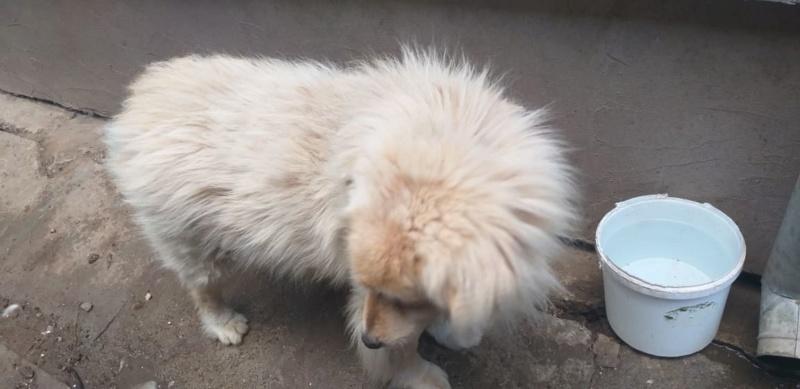 POUFFY - Mâle croisé golden retriever / chow chow taille moyenne - Né environ en juin 2007 - en FA chez Van_Do (84)  Pouffy21